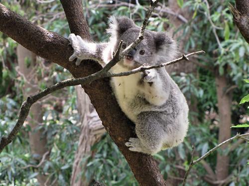 Koala Story part 1
