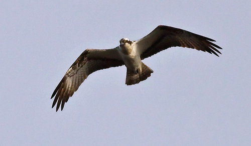Pandion haliaetus Osprey Fiskgjuse