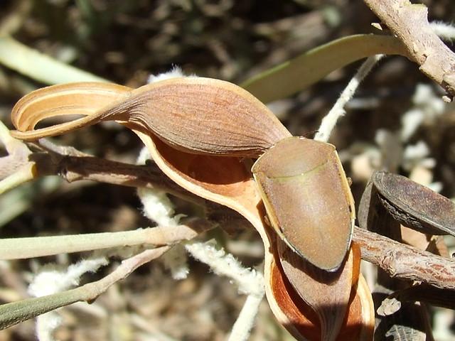 Scutelleridae Elvisurinae>Coleotichus Green Shield Backed … | Flickr ...