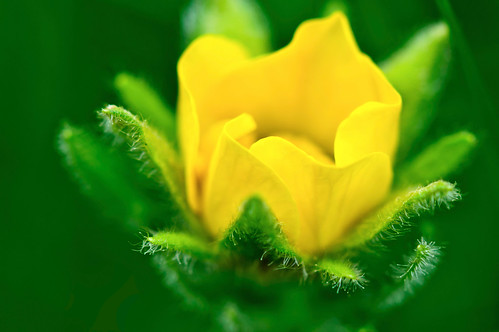 Macro of yellow flower with center folded petals
