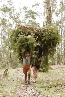 collecting shrubs Udhagamandalam, India
