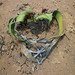 Welwitschia mirabilis loves you! Angola