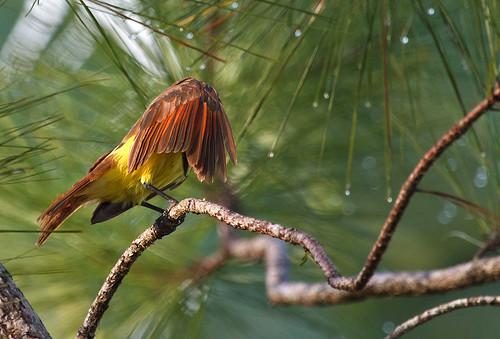 Great Kiskadee (Pitangus sulphuratus) - Större kiskadi