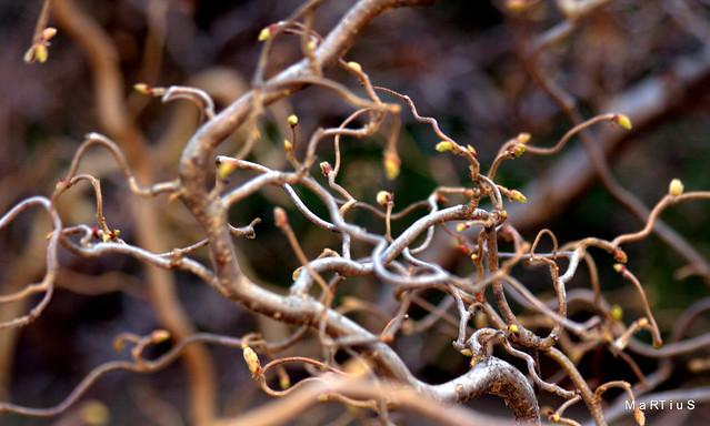 corylus avellana ´contorta´