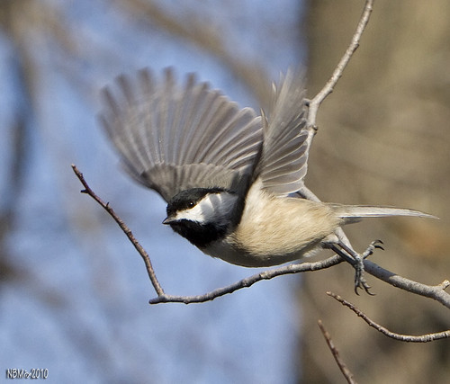 bird flight maryland chickadee poecileatricapillus nbw explored canoneos7d