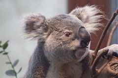 Hanson Bay Wildlife Sanctuary & Koala Walk, Hanson Bay