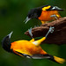 Male Baltimore Orioles