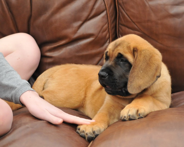 English Mastiff Puppy | Flickr - Photo Sharing!
