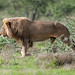 Etosha lion.