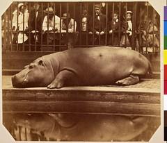 The Hippopotamus at the Zoological Gardens, Regent's Park, London