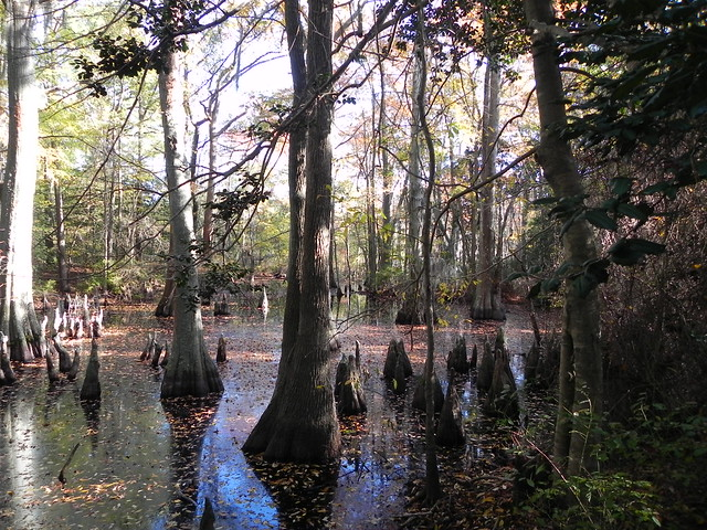The Bald Cypress swamps were very important to the early settlers--a source of fresh water!