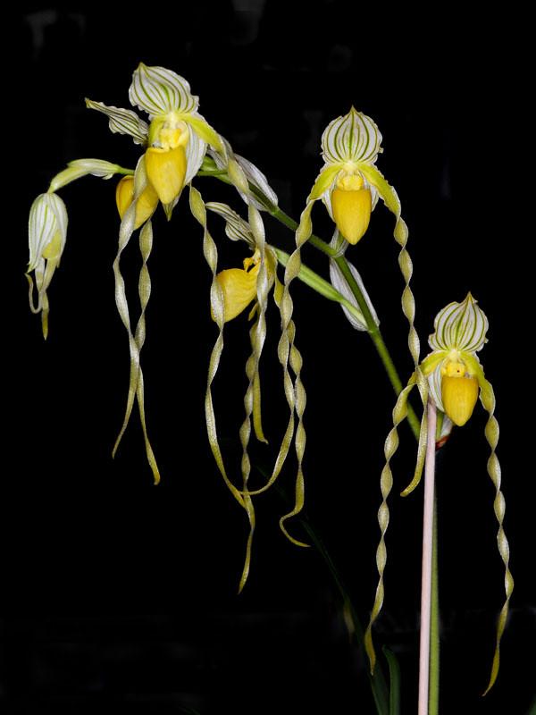 paphiopedilum philippinense alba