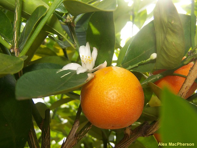 An orange flower and fruit. | Flickr - Photo Sharing!