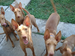 animal sports(0.0), dog breed(1.0), animal(1.0), pharaoh hound(1.0), dog(1.0), cirneco dell'etna(1.0), pet(1.0), mammal(1.0), podenco canario(1.0), ibizan hound(1.0), hunting dog(1.0),