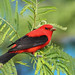 Scarlet Tanager by Doug Lloyd