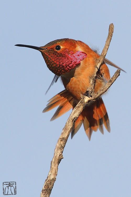 Allen's Hummingbird 121010