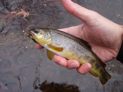 Fly fishing for ohio steelhead and gunpowder browns for Trout fishing in ohio