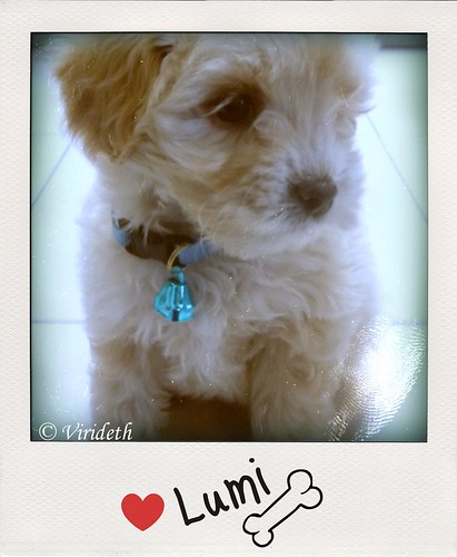 My Little Teddy bear  is Bichon Maltese =)  is 2 months in this picture =)  he is so cute & spongy . by virideth