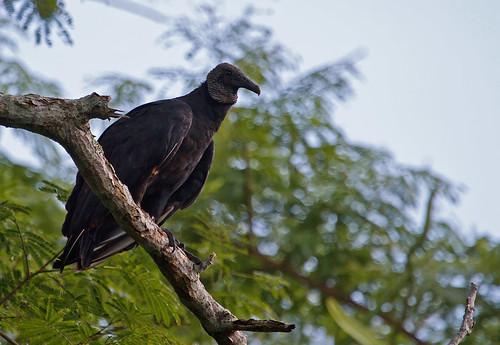 American Black Vulture (Coragyps atratus) - Korpgam