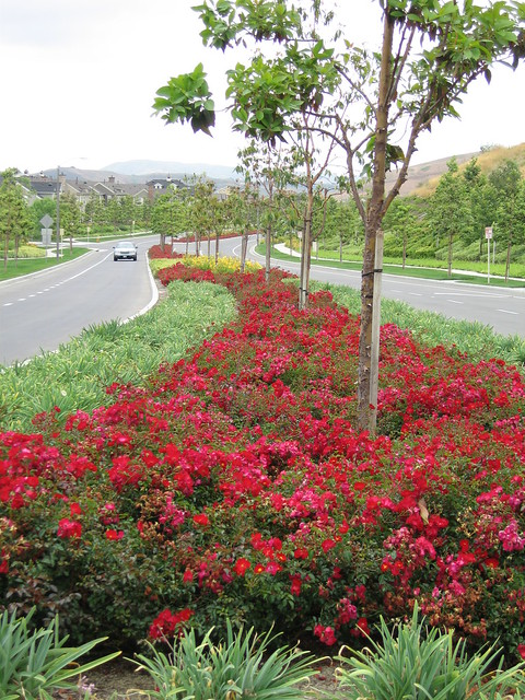Flower Carpet Red roses, closeup of median | Flickr ...