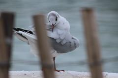 clean sea gull at Belvedere Castle