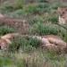 Etosha lions.
