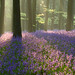 Bluebells, Micheldever Woods by craig.denford