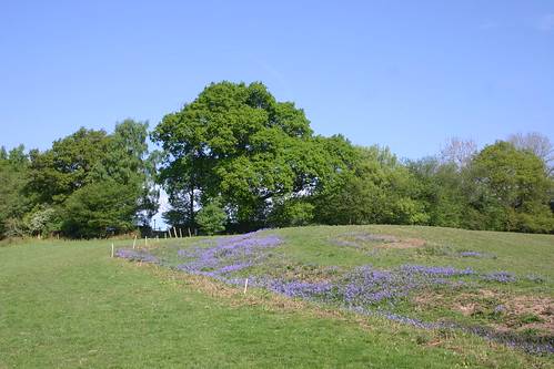 Bluebells without the wood