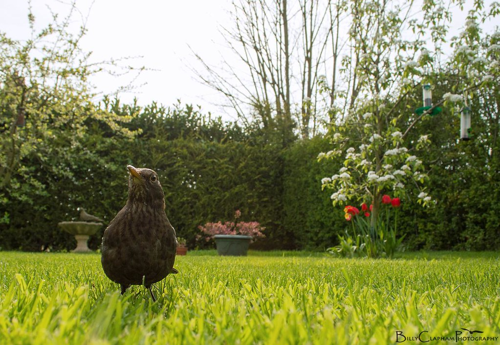 wide angle garden female blackbird spring