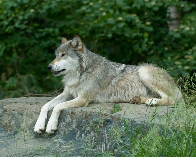 Wolf on Rock | Flickr - Photo Sharing!