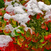 First snow in autumn garden