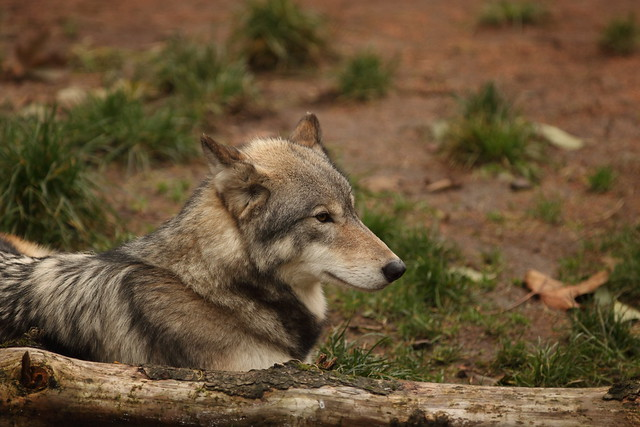 Grey wolf in profile