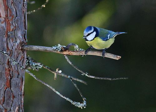 Blåmes - Bluetit - Parus caeruleus