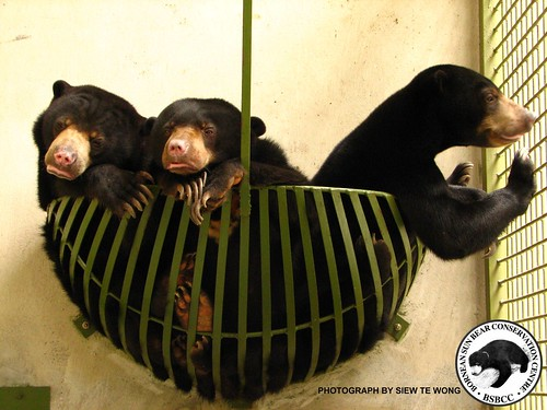 Cerah Kuamut and Lawa the sun bears