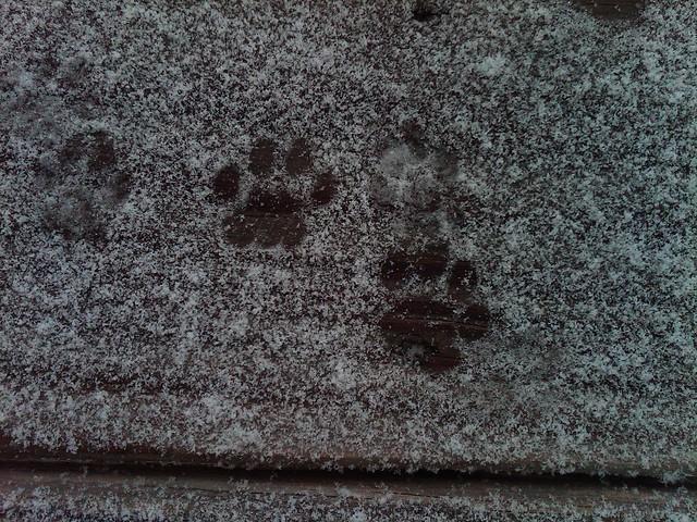 Ferocious snow leopard paw prints... | Flickr - Photo Sharing!