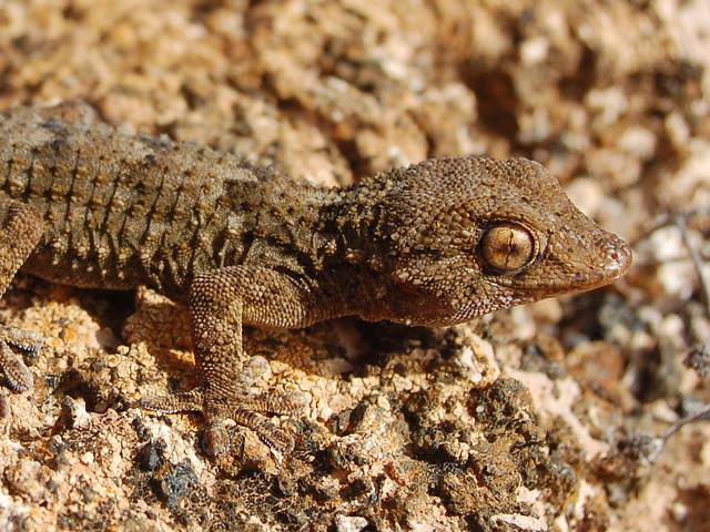 Gecko (Tarentola angustimentalis). Lanzarote.