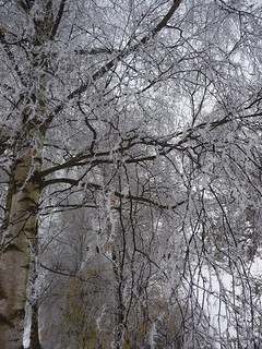 Snow covered silver birch