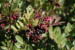 elaeagnus multiflora(0.0), flower(0.0), arctostaphylos uva-ursi(0.0), huckleberry(0.0), crataegus pinnatifida(0.0), produce(0.0), food(0.0), lingonberry(0.0), evergreen(1.0), shrub(1.0), pistacia lentiscus(1.0), berry(1.0), leaf(1.0), tree(1.0), plant(1.0), flora(1.0), chokecherry(1.0), chokeberry(1.0), fruit(1.0), aquifoliaceae(1.0), schisandra(1.0), aquifoliales(1.0),