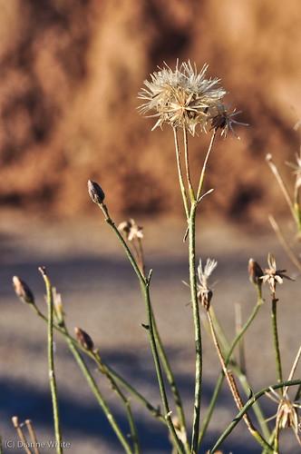 arizona flower tucson wildflowers sonorandesert ©diannewhite