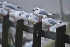 Gossiping Sea Gulls