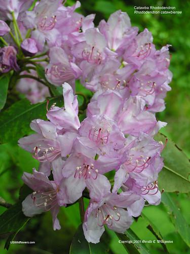Catawba Rhododendron, Mountain Rosebay,Purple Rhododendron - Rhododendron catawbiense