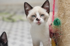 siamese(0.0), khao manee(0.0), burmese(0.0), birman(0.0), domestic short-haired cat(0.0), animal(1.0), kitten(1.0), small to medium-sized cats(1.0), pet(1.0), burmilla(1.0), snowshoe(1.0), thai(1.0), tonkinese(1.0), cat(1.0), carnivoran(1.0), whiskers(1.0), balinese(1.0),