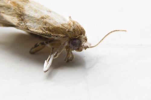 Dead Moth