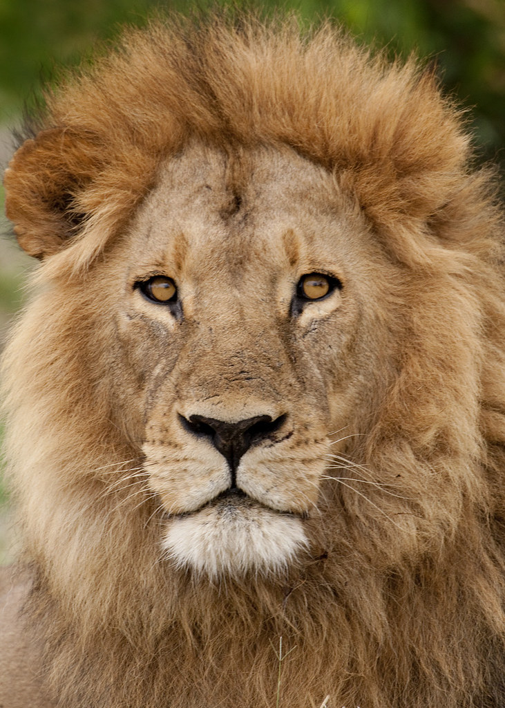 lion essay Find great deals on ebay for paraguay lion essay shop with confidence.