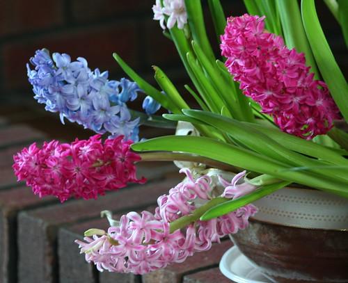 My house Hyacinths