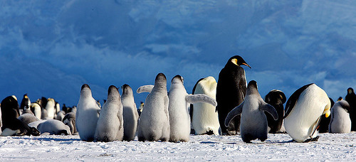 Emperor Penguins-Rookery. by Jo Sze