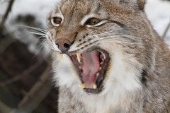 Lynx roar