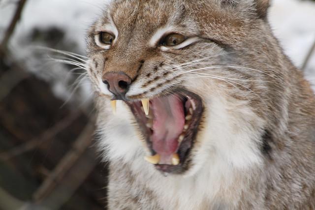 Lynx Roar Lynx In Munich Zoo By Terykats Flickr
