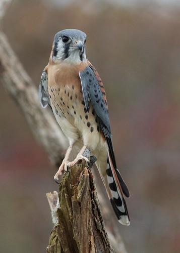 falcon birdsofprey kestrel sparrowhawk