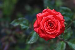 Roses - Cameron Highlands, Malaysia